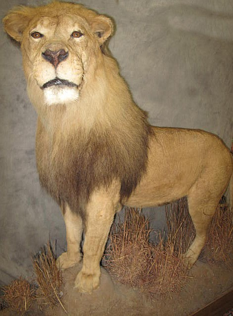 AFRICAN SAVANNAH LION MOUNT. Standing erect on a