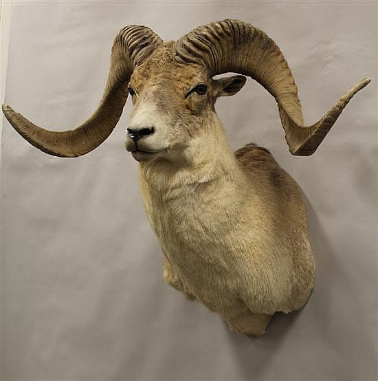 """Marco Polo Argali Sheep shoulder mount.- Russia. Hair falling off hide. """"This item can only be sold to a Pennsylvania resident."""""""