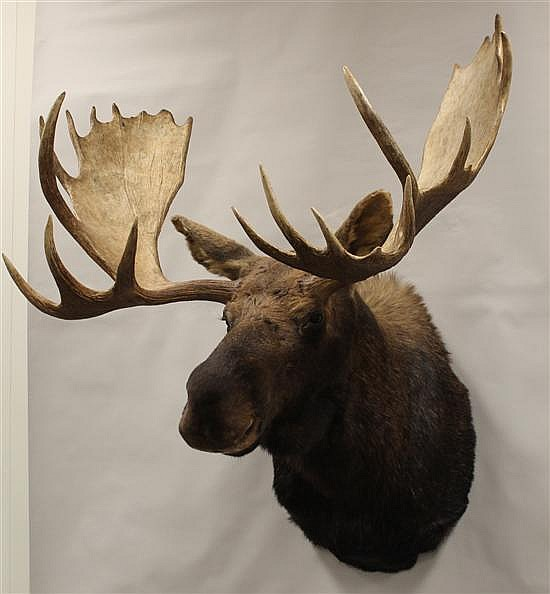 Moose shoulder mount - Yukon