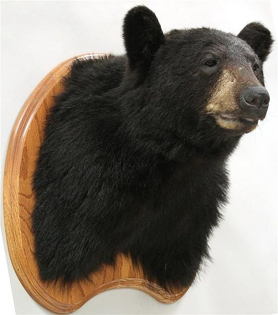 Black Bear shoulder mount - PA