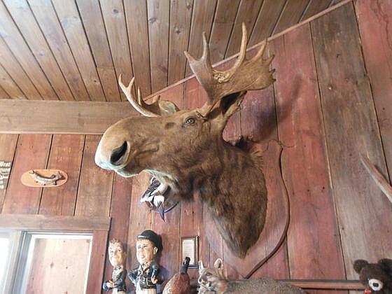 Shoulder Mount Bull Moose